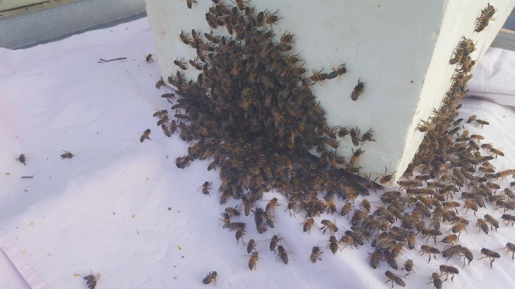 j ai trouv un essaim d abeilles que faire apicit. Black Bedroom Furniture Sets. Home Design Ideas