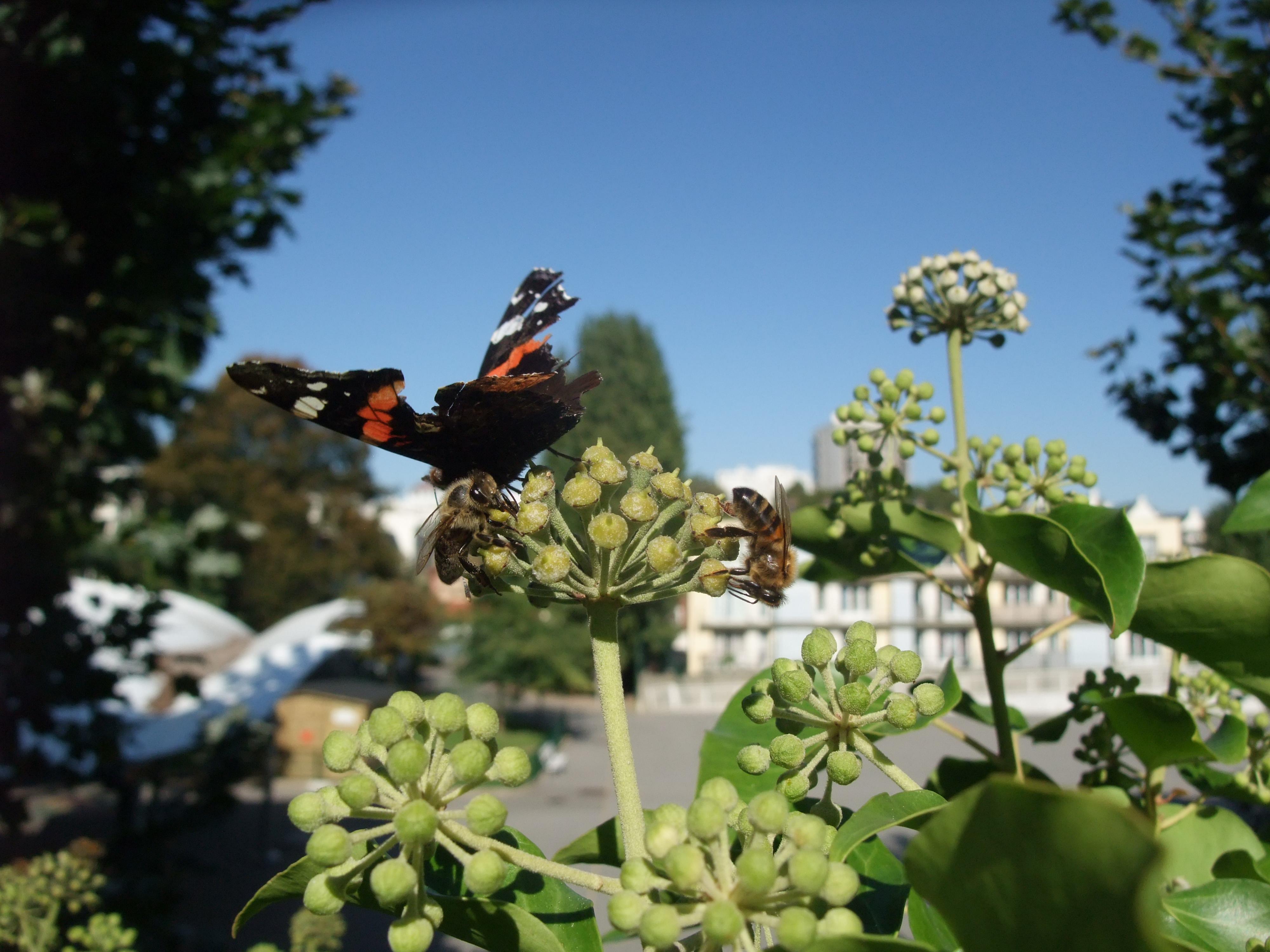 Abeilles et papillon sur le lierre