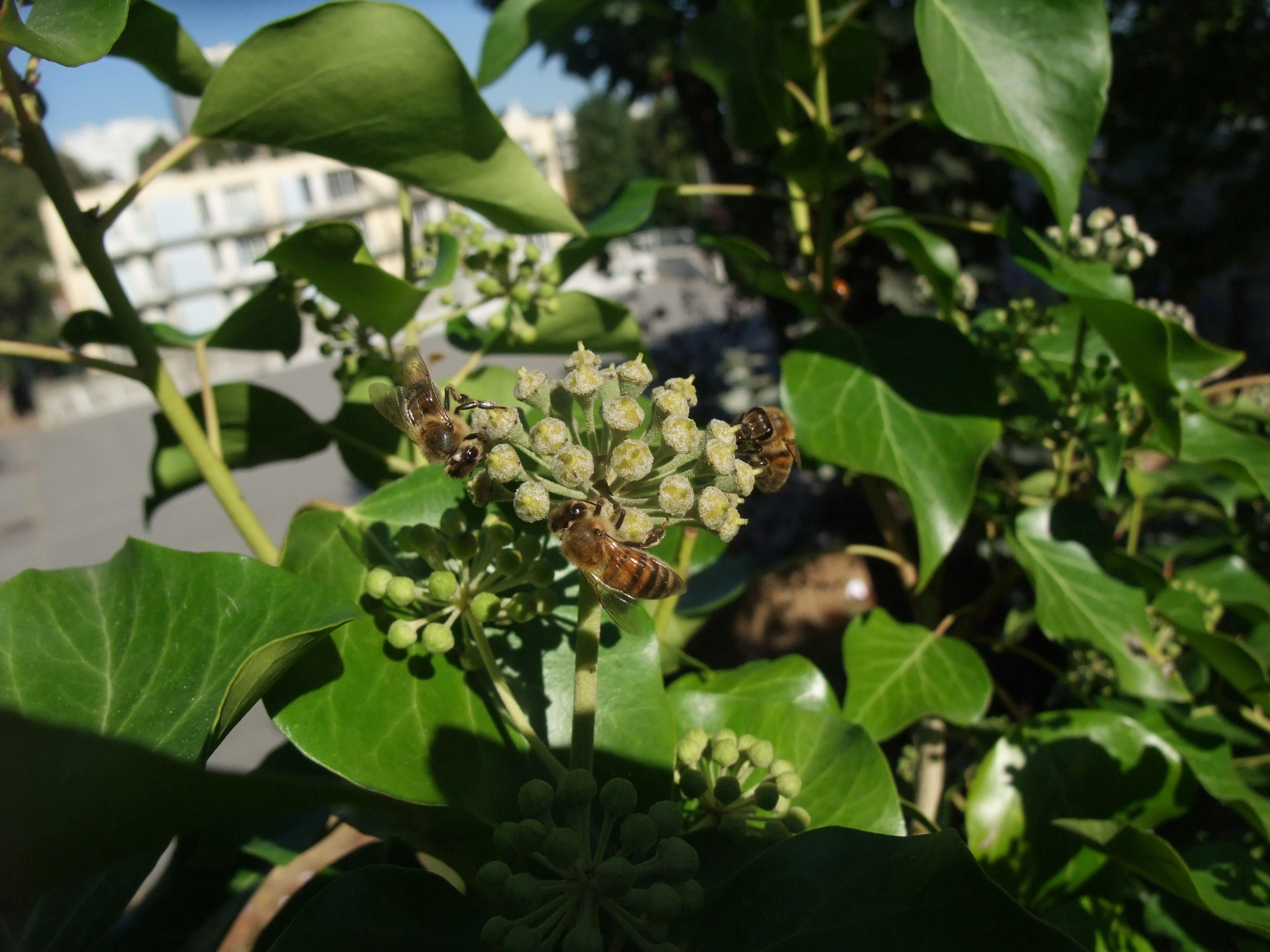 Abeille (apis mellifera) sur le lierre