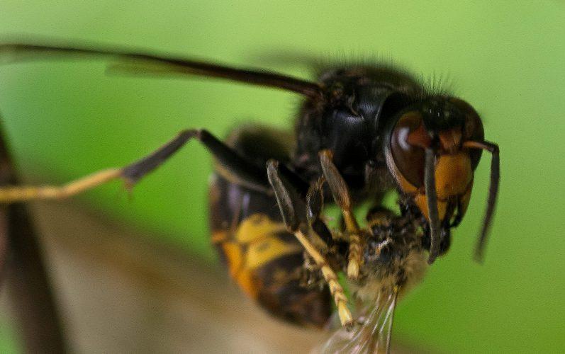 Ennemi public apicole